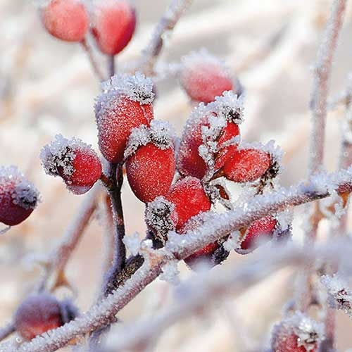 Servetti Frozen Rosehips