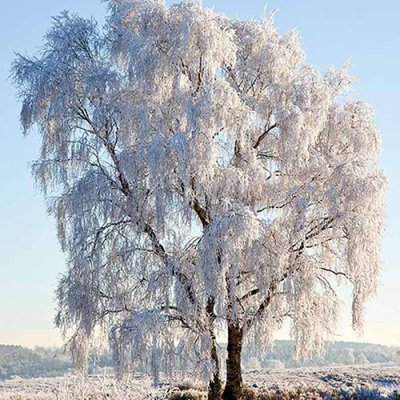 Servetti Frozen tree